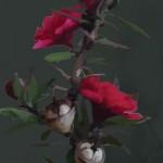 Manuka image2