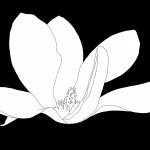 Magnolia-200-BW Drawing