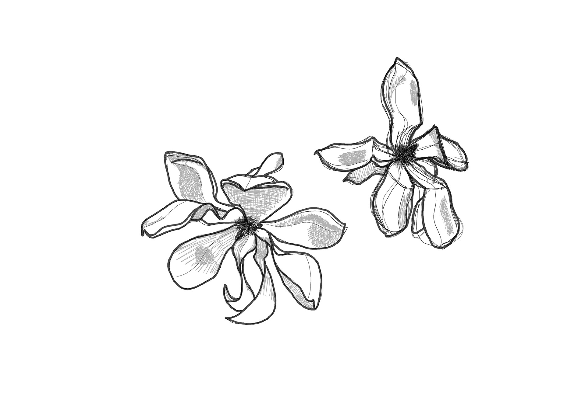 Magnolia Drawing 2, flowers 1 and 2