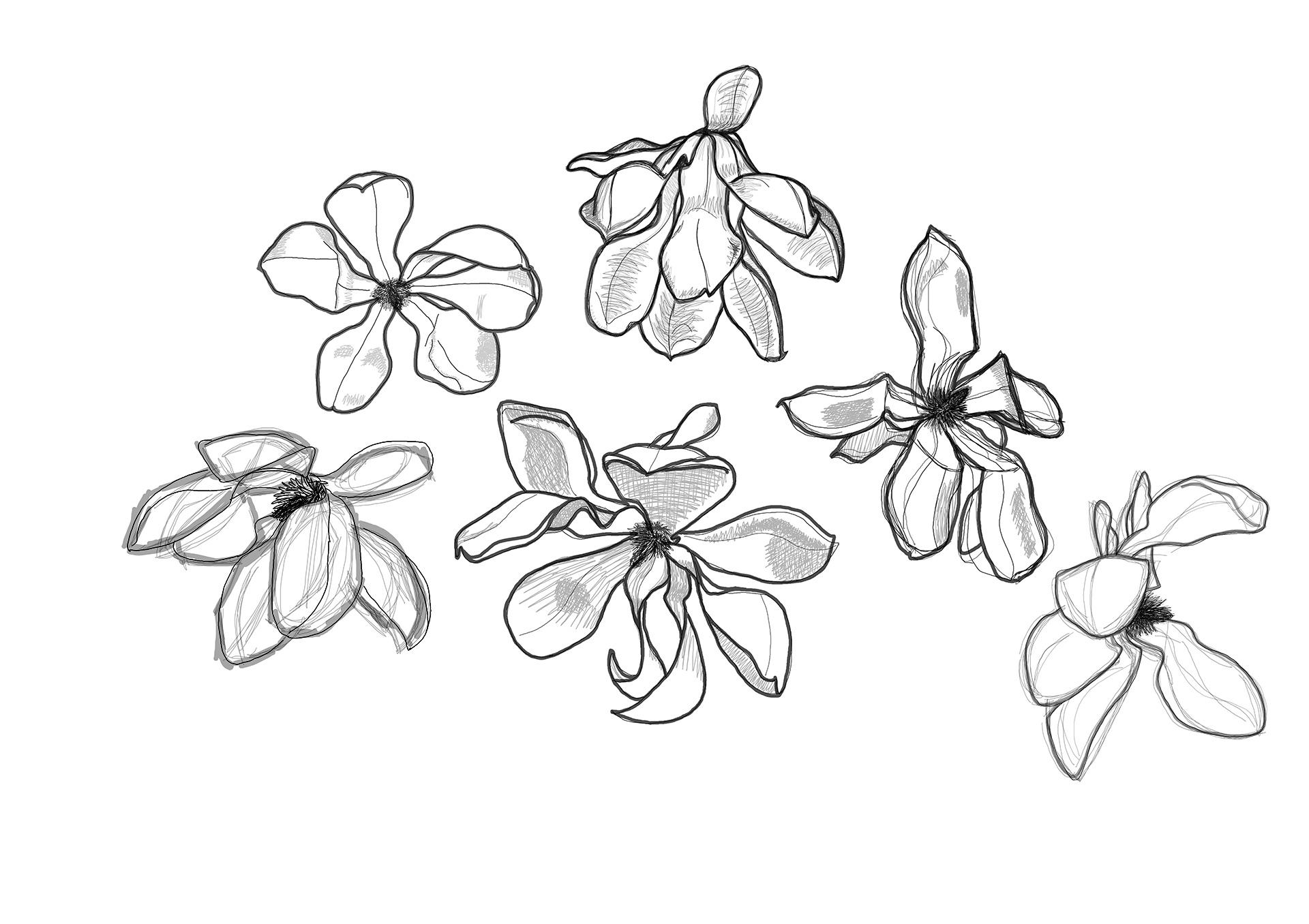 Magnolia Drawing 2