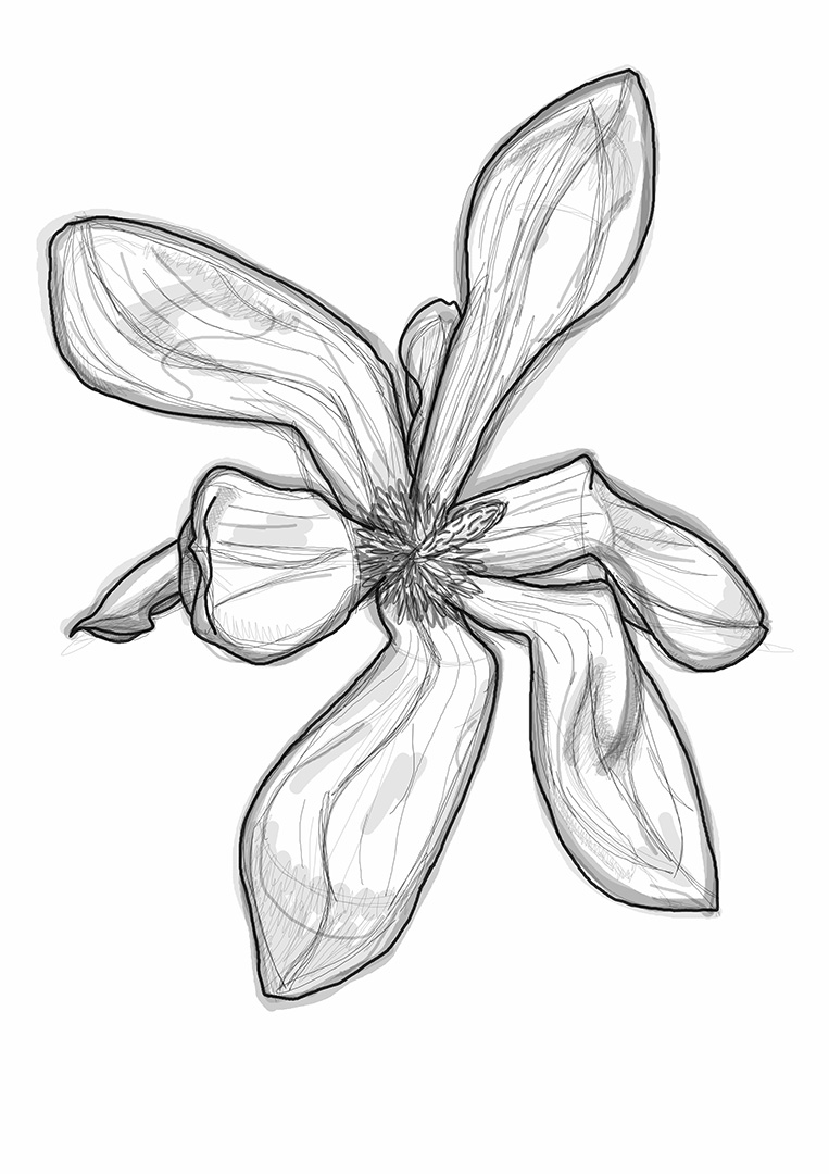 Magnolia Drawing 3